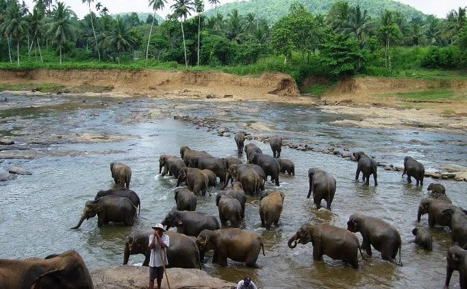 Olifanten in Pinnawala
